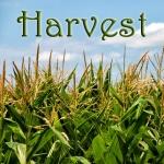 harvest corn